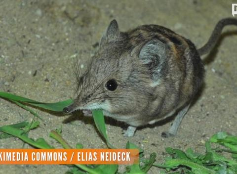News video: Newly-Discovered Shrew And Elephant Are Long Lost Cousins